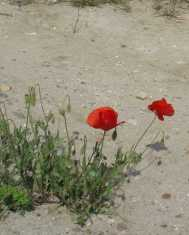 Madrid country road with poppies