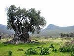 olive tree israel
