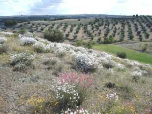 distant olive grove