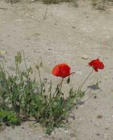 roadside-poppies