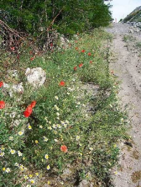 Poppies and Daisies along the Path