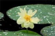 lotus_flower224_sm