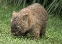 wombat-pic