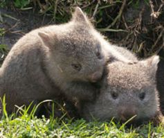 young wombats