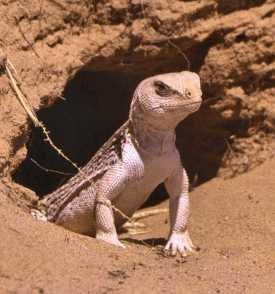 desert-iguana-yuma-county-az