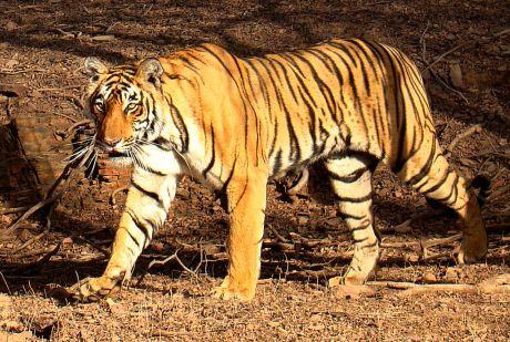 Tiger_in_Ranthambhore