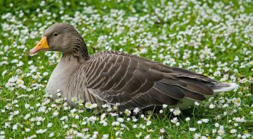 David Illiff Greylag_Goose_in_St_James's_Park,_London