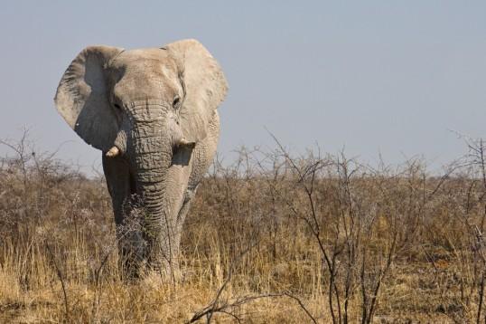 Elefant im Etosha-Nationalpark, Namibia